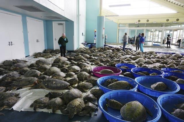 <p>En esta imagen del 16 de febrero de 2021, miles de tortugas verdes del Atlántico y tortugas loras aturdidas por las bajas temperaturas se recuperan en el Centro de Convenciones de South Padre Island, Texas. </p>