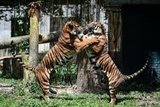 Zoológico anuncia nacimiento de dos cachorros ultra raros de tigre malayo en Singapur
