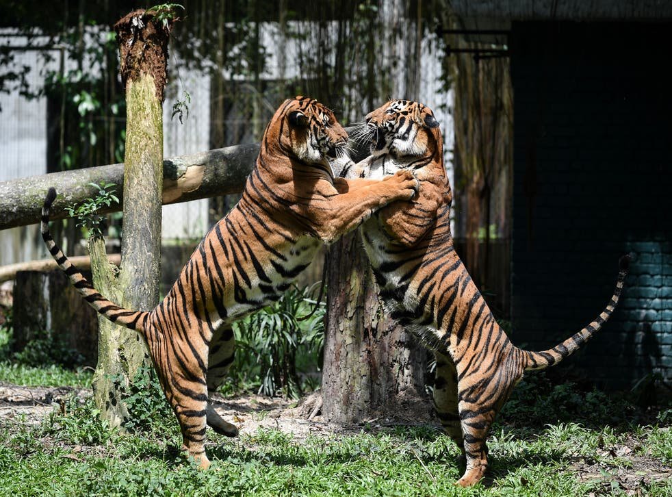 <p>File Image: Two Malayan tigers fight at the National Zoo in Kuala Lumpur on 21 November 2017</p>