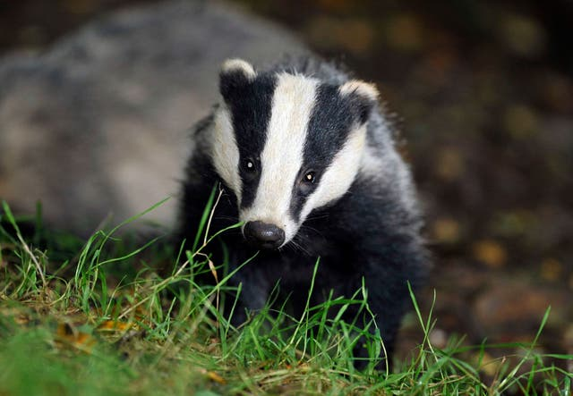 <p>The badger cull has wiped out more than 140,000 animals over the past eight years</p>