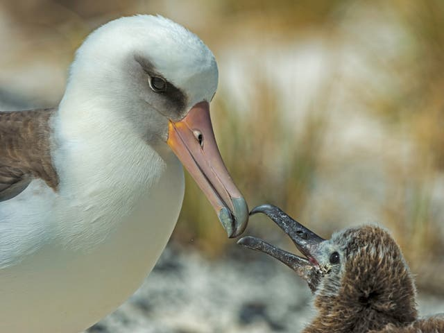 A Laysan albatross feeds its chick on Midway Atoll in the North Pacific. Albatrosses do not rear chicks every year