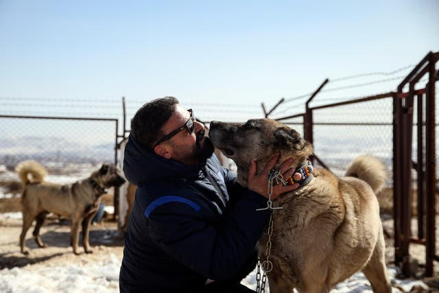 Turkey Kangal Dogs Photo Gallery