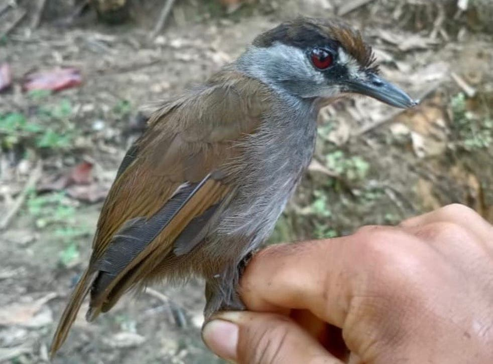 <p>The black-browed babbler was first described in about 1850</p>