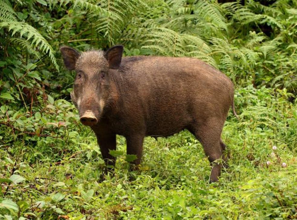 It may look like a mess, but wild boars' rootling can have unexpected benefits for forests, research suggests