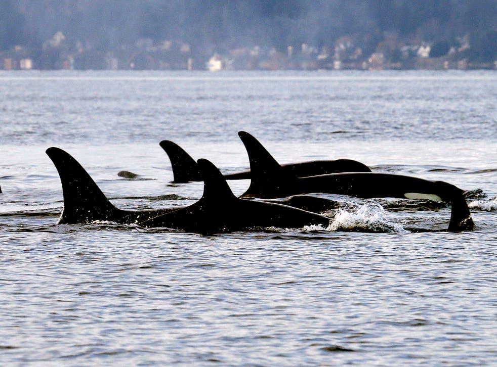 Endangered Orcas Diet