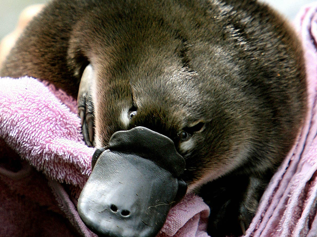 Australia to open world's first platypus sanctuary in fight to save species - independent