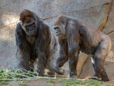 Los gorilas del zoológico de San Diego reciben la vacuna COVID para animales