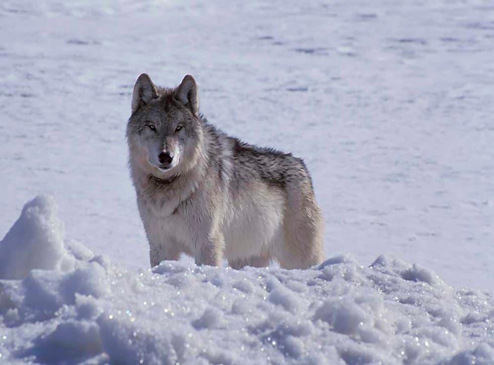 Killings Wolves