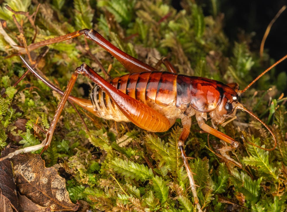 Hemiandrus jacinda is already known for its orangey-red colour and long limbs