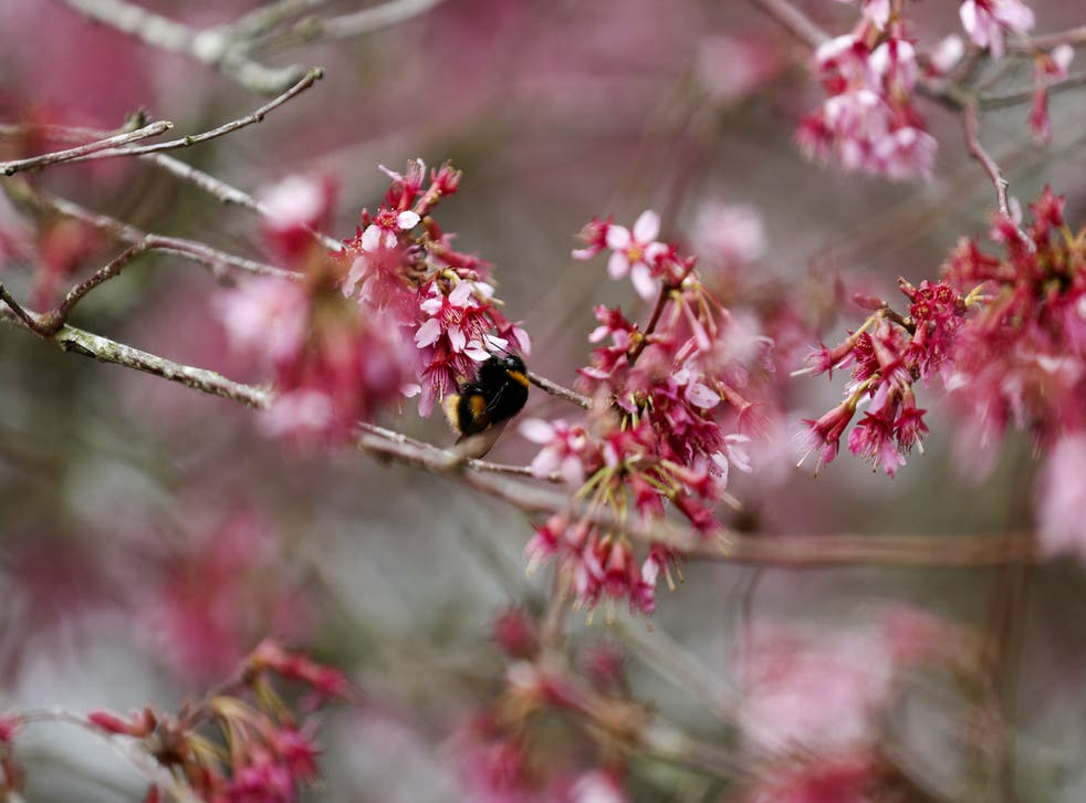 Celebrate Cherry Blossom Season By Planting A Cherry Tree Of Your Own The Independent