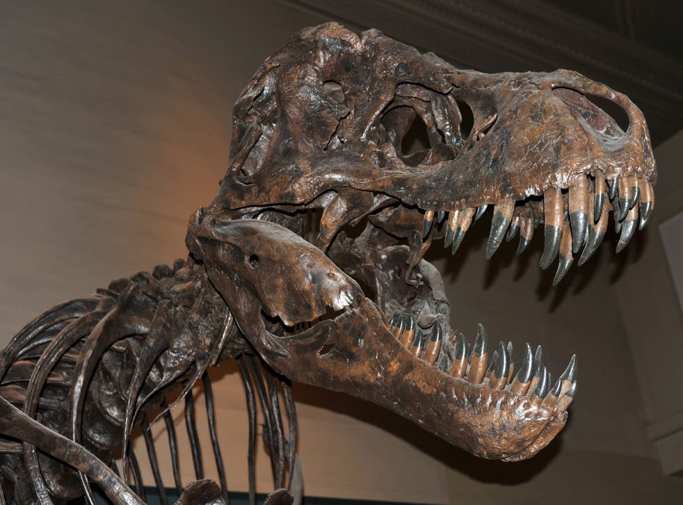 <p>Show us your teeth: a fossilised T rex skeleton</p>
