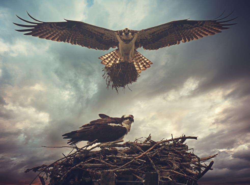 Ospreys nest in the UK during summer months and usually return to the same nesting areas each year