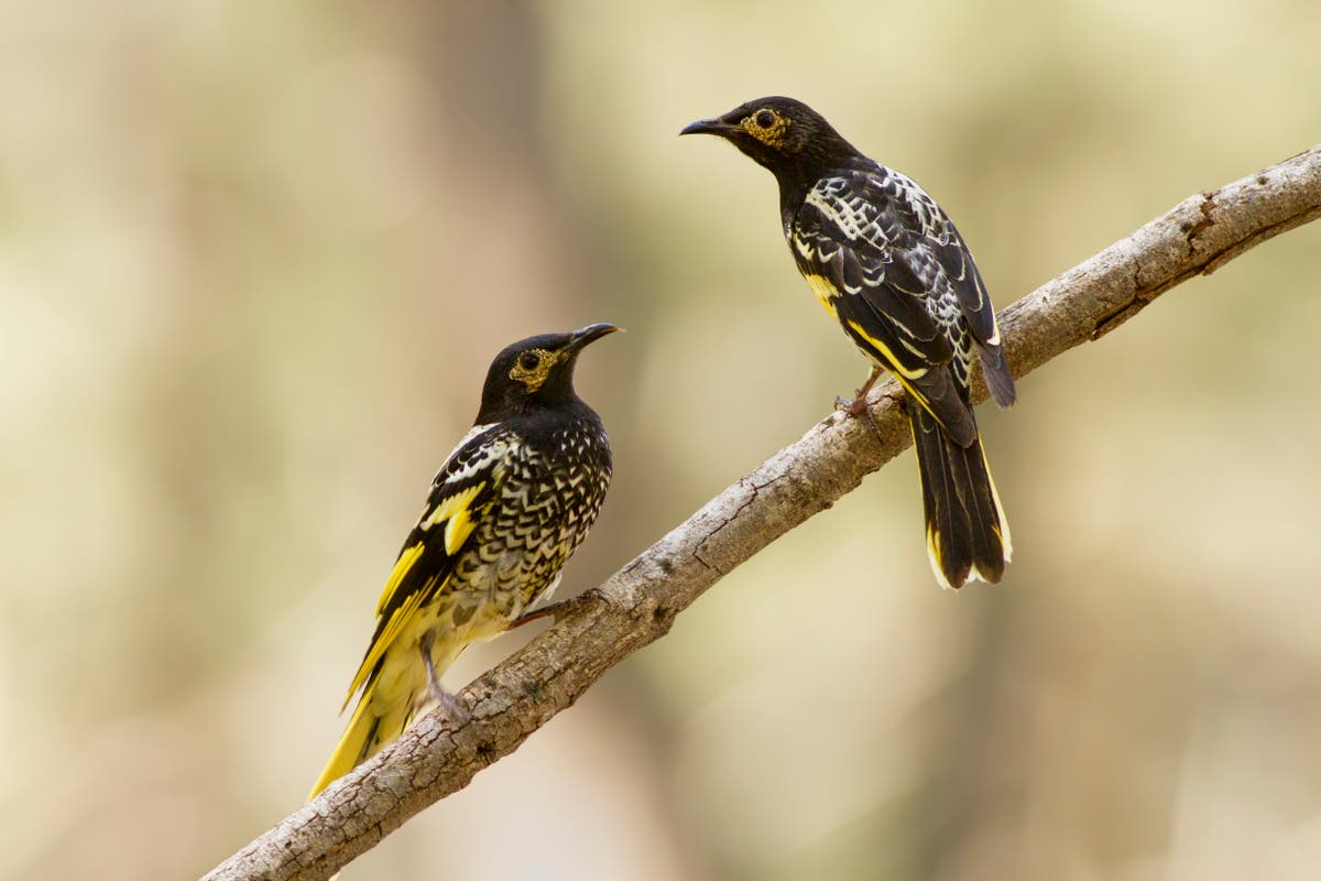 """An endangered bird """"forgetting its song"""" while numbers are declining"""