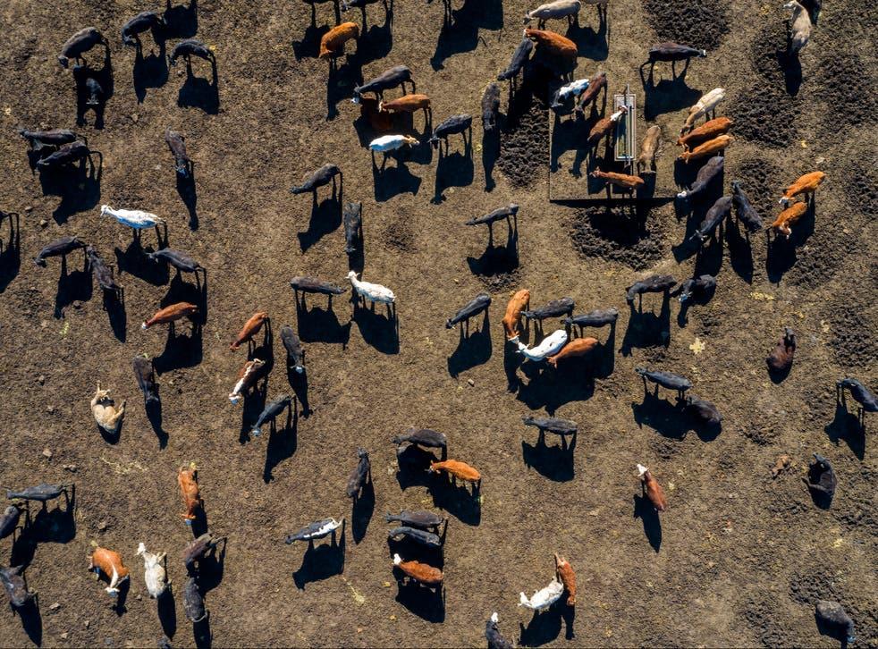 A beef herd in Texas
