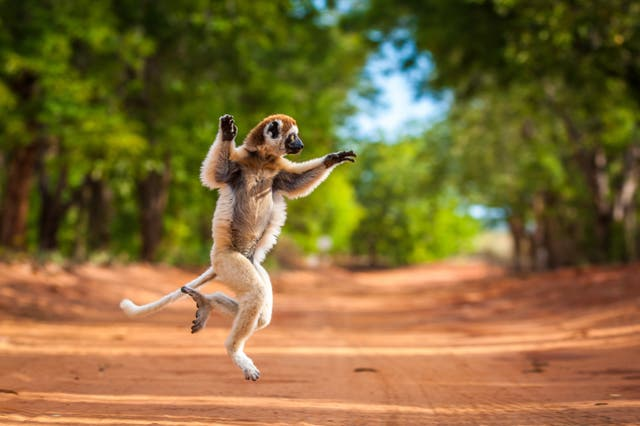 <p>Verreaux's sifaka photographed in the Berenty Reserve of Madagascar</p>