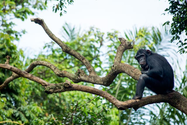 <p>Cells called organoides grown from human, gorilla and chimpanzee stem cells were compared in the study</p>