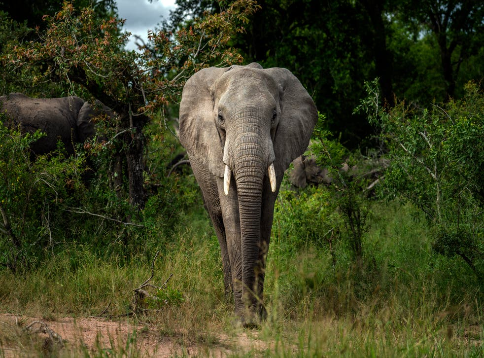 Africa Elephants Endangered