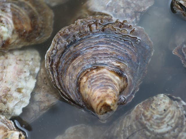 The UK's native oyster species faces extinction after catastrophic declines
