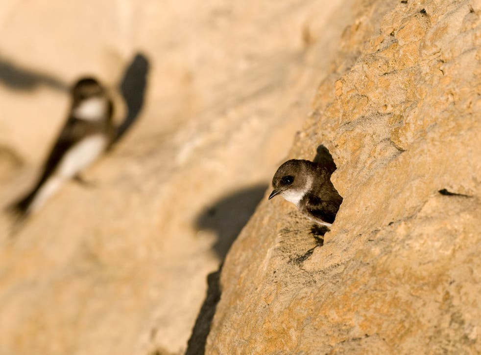 New efforts are being made to boost sand martin numbers in southern England