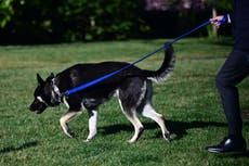 Major, el perro de Biden, involucrado en segundo incidente de mordedura en la Casa Blanca
