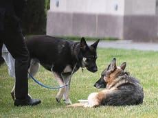 Uno de los perros del presidente Biden, acusado de hacer sus necesidades en el piso de la Casa Blanca