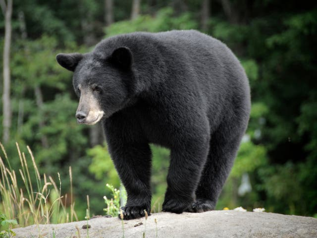 <p>As many as 25 black bears would be killed each year for three years as part of the experiment</p>