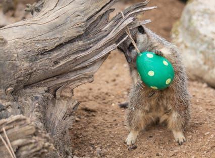 A meerkat enjoys an Easter treat