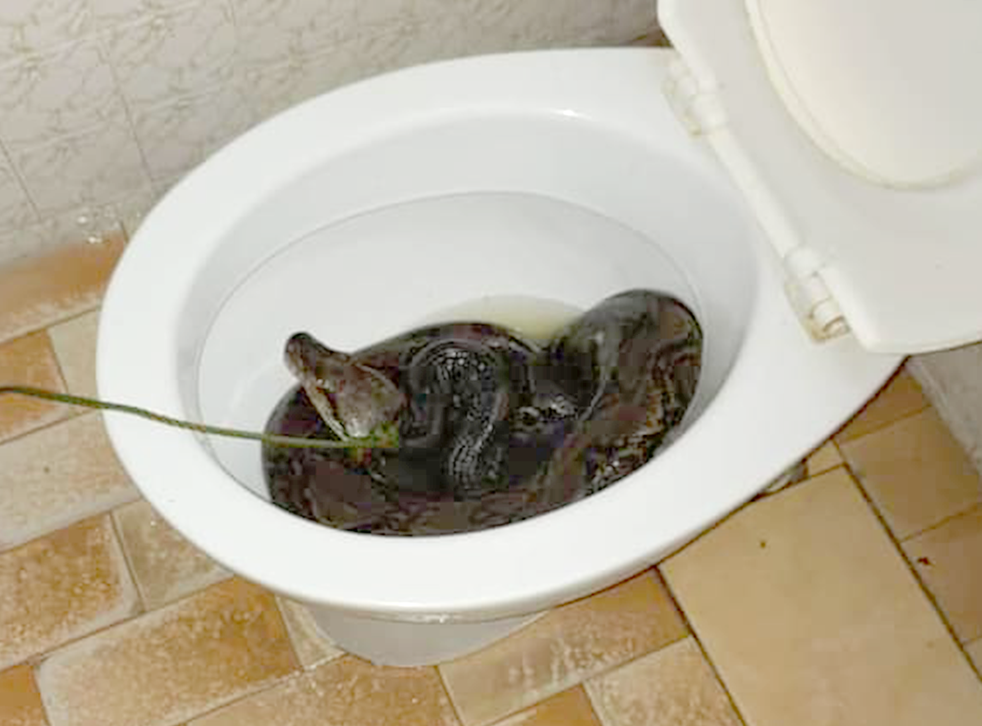 <p>The snake was discovered in the toilet following biting the homeowner on the bum</p>