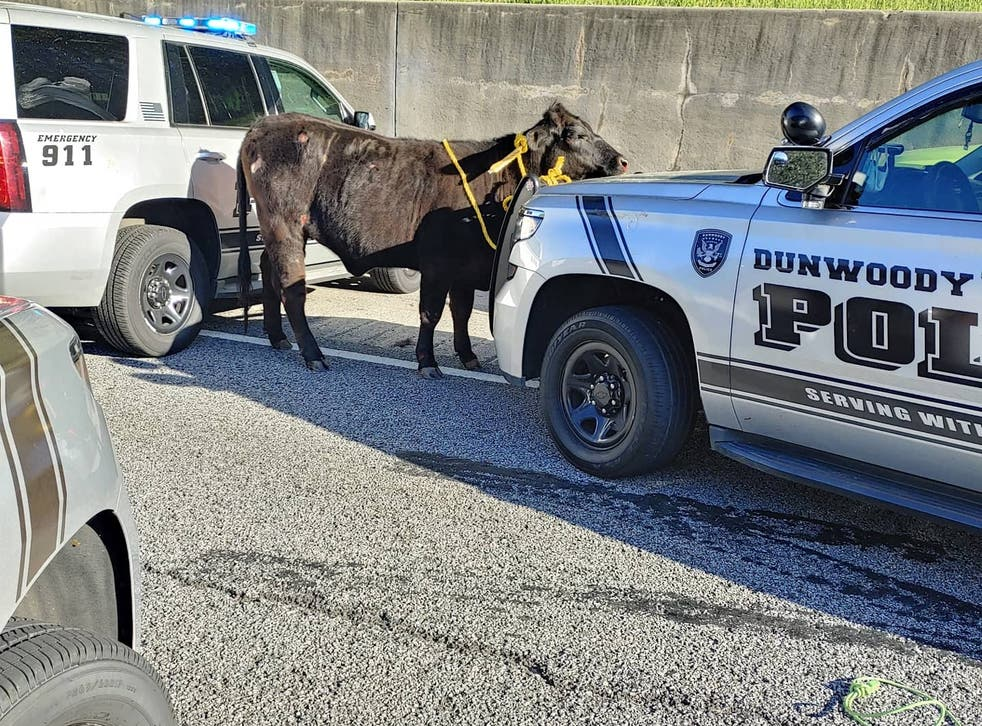<p>Police in Dunwoody, Georgia, said they were called to the interstate, which runs west of Atlanta, that morning to reports that a cow was running on the road</p>