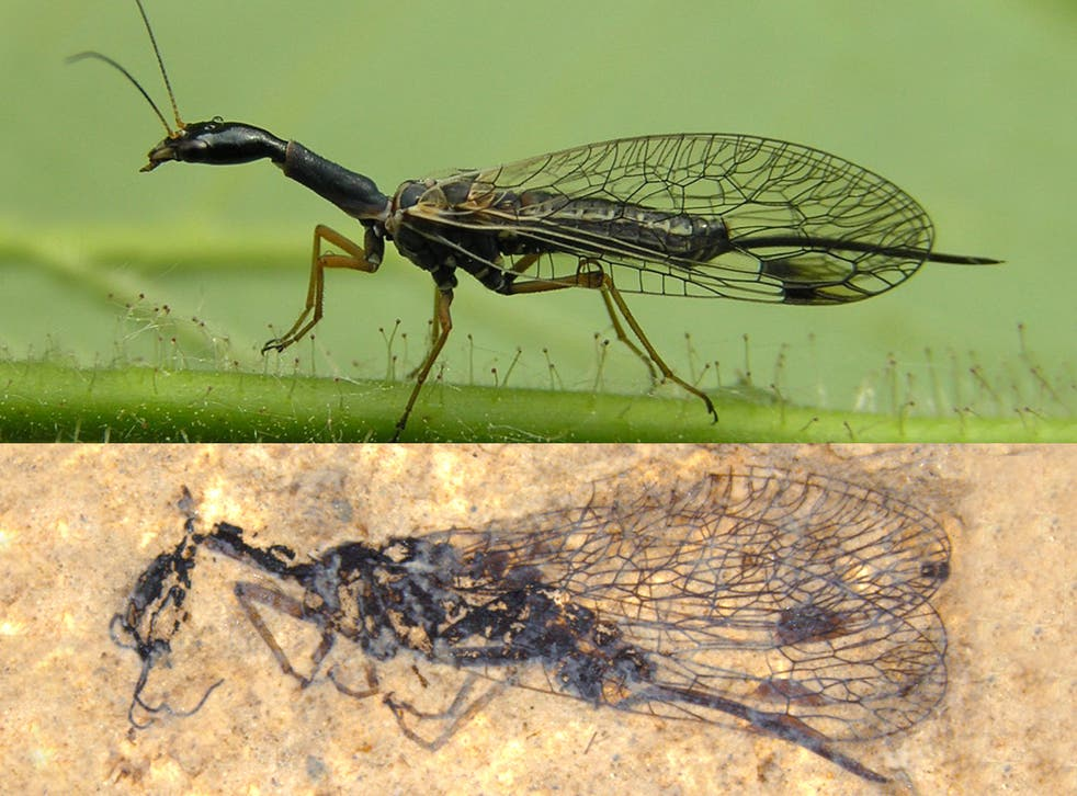 Modern snakefly (above), and below a fifty-two-million-year-old fossil of a snakefly from Driftwood Canyon in British Columbia
