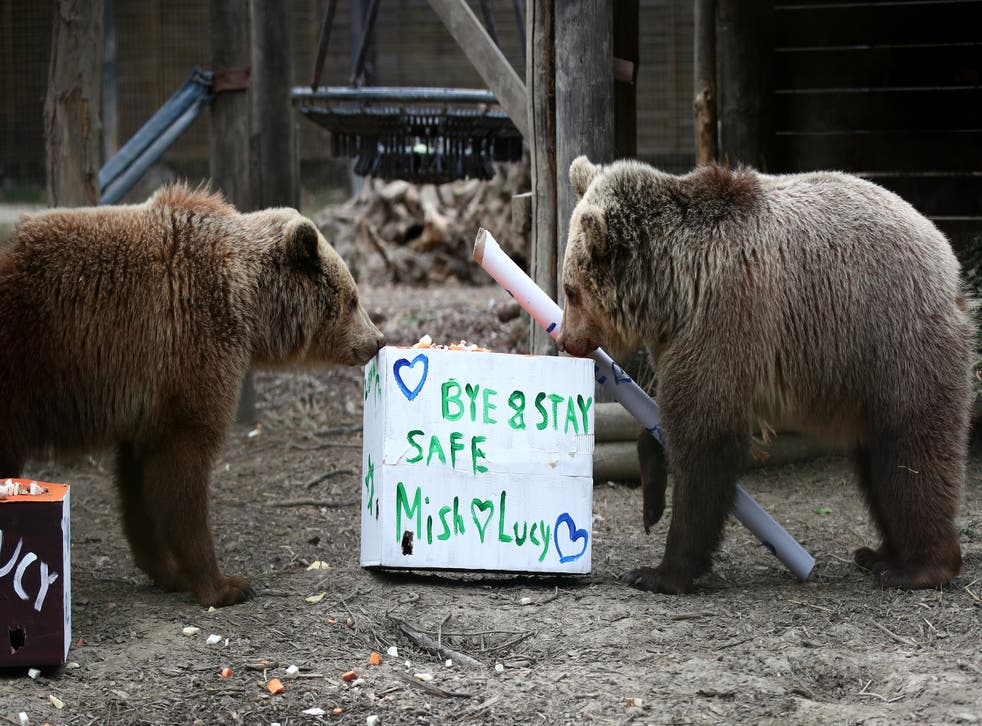 Rescued brown bear cubs Lucy, left and Mish explore gifts stuffed with their favourite treats ahead of their move from the Wildwood Trust in Kent to their forever home at the Trust's sister site, Escot in Devon