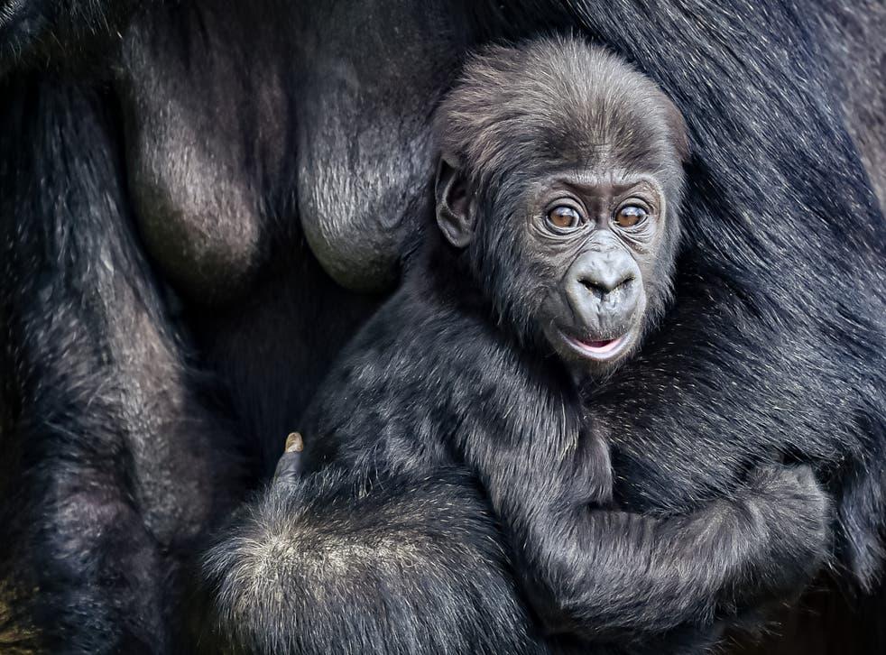 The baby gorilla