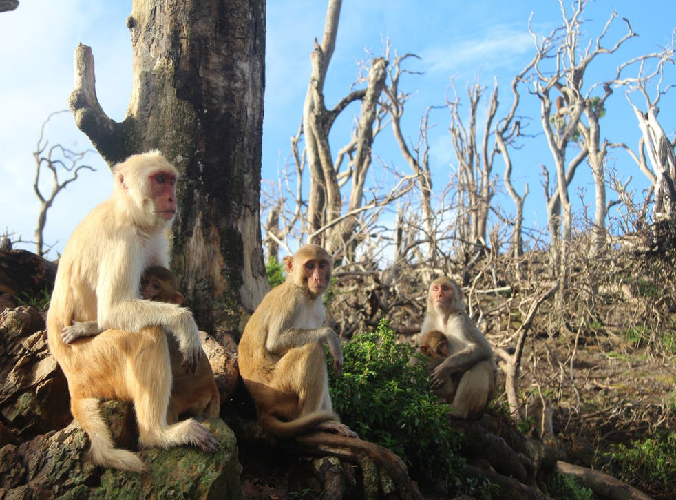 Female rhesus macaques are pictured with their young in Cayo Santiago, Puerto Rico.