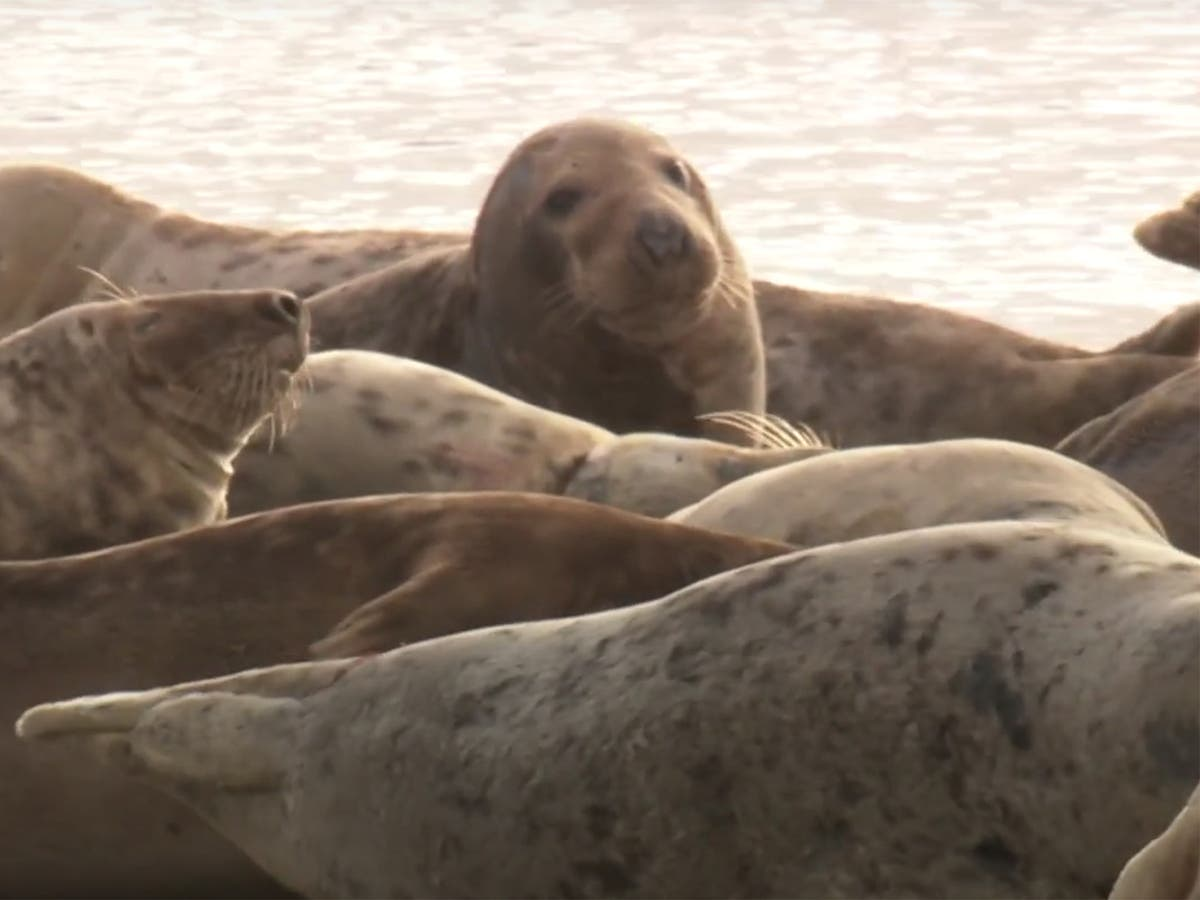 Record grey seal numbers counted at Cumbria nature reserve through drone surveys