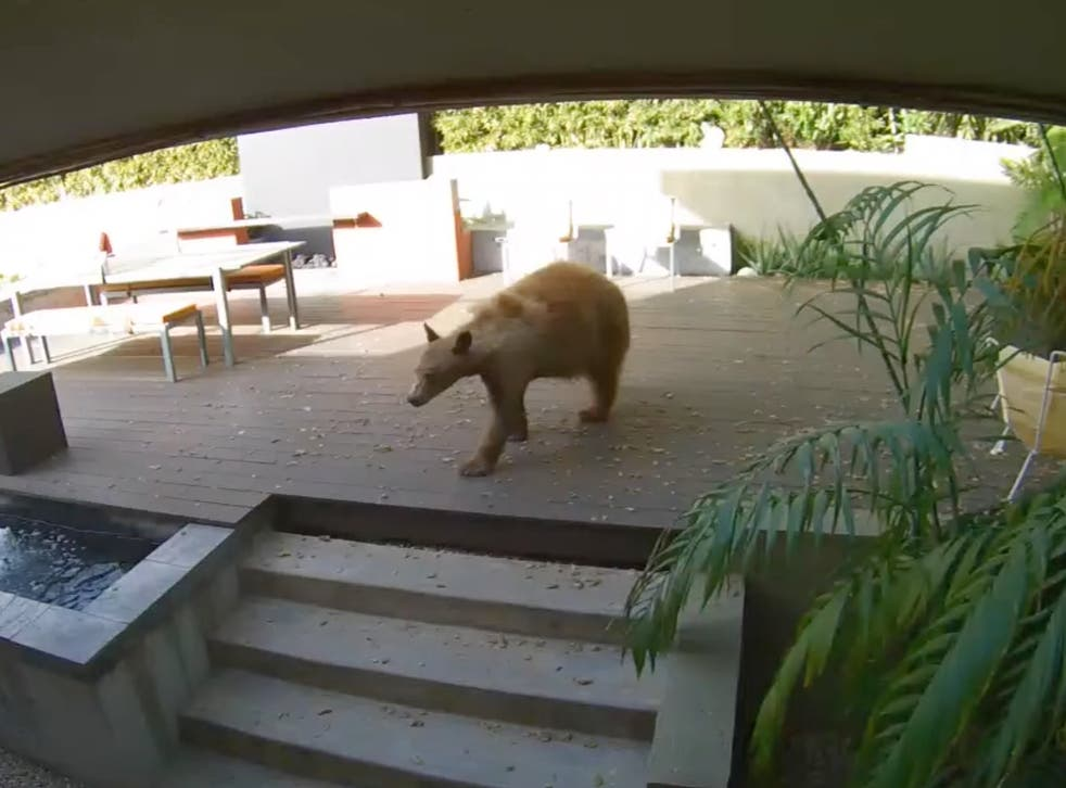 <p>The bear inside Deedee Mueller's home on Saturday 10 April 2021</p>
