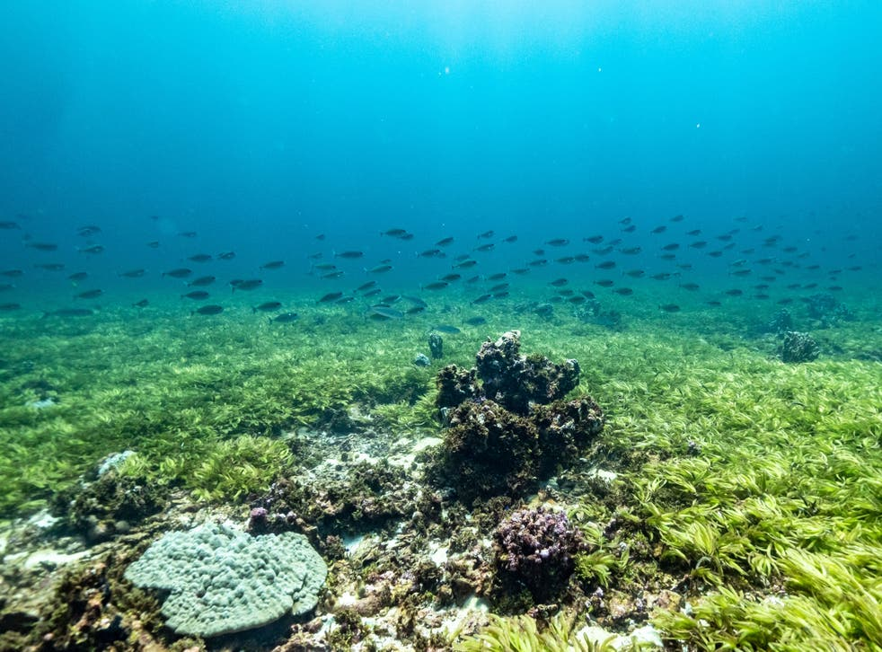 <p>Seagrass and corals on the Saya de Malha Bank</p>