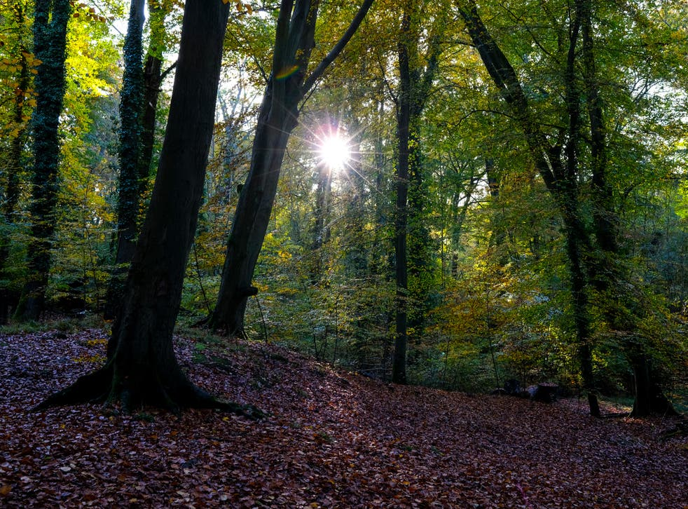 <p>Woodland accounts for 13 per cent of Britain's surface area, about half of which consists of oak, beech and ash</p>