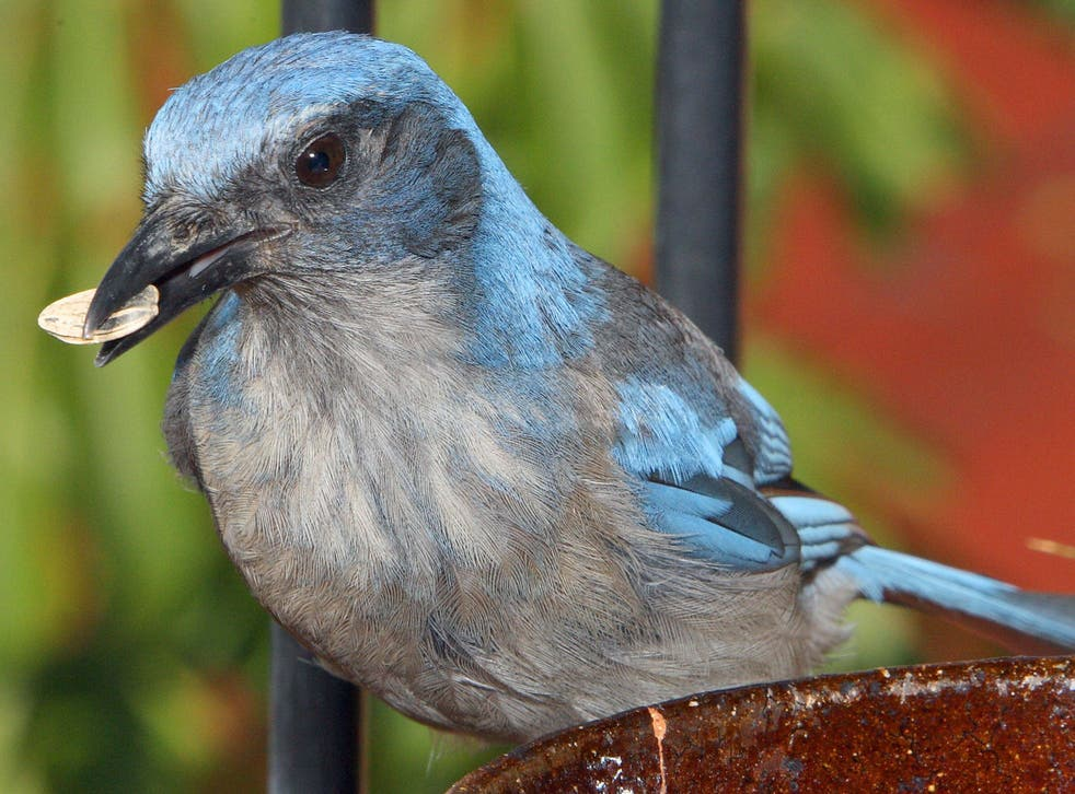A scrub jay, native to the western US and Mexico, feeding on seeds