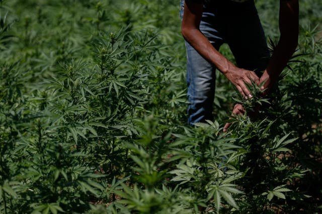 Mexico Marijuana