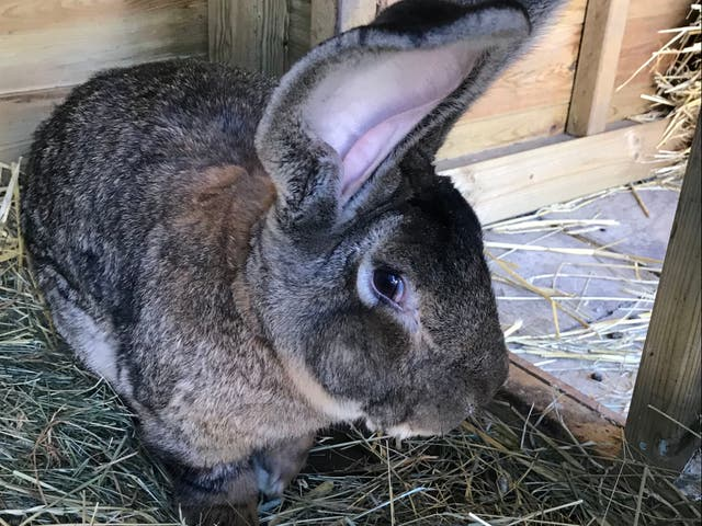 """<p>The <a href=""""/news/science/duck-and-rabbit-illusion-b1821663.html"""">rabbit</a>, named Darius, has the Guinness World Record for being the biggest continental giant rabbit</p>"""
