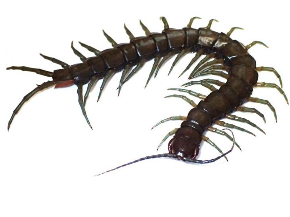 Image New amphibious centipede species named after local dragon god discovered