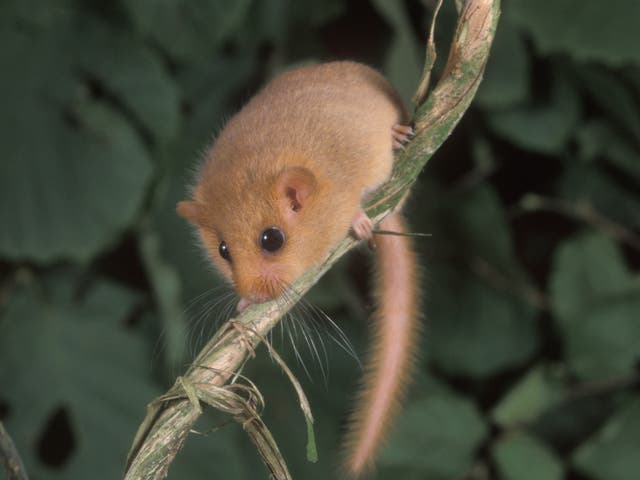 Numbers of hazel or common dormouse have fallen by 52 per cent since 1995