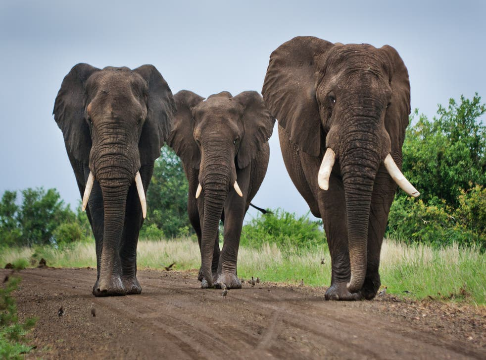 <p>Three elephants walk on a dirt road in Kruger National Park, South Africa</p>