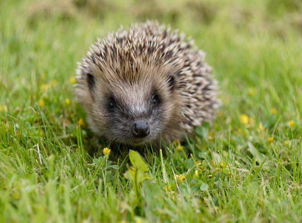 Native hedgehog in grass (Dave Cooper/Hedgehog Street/PA)