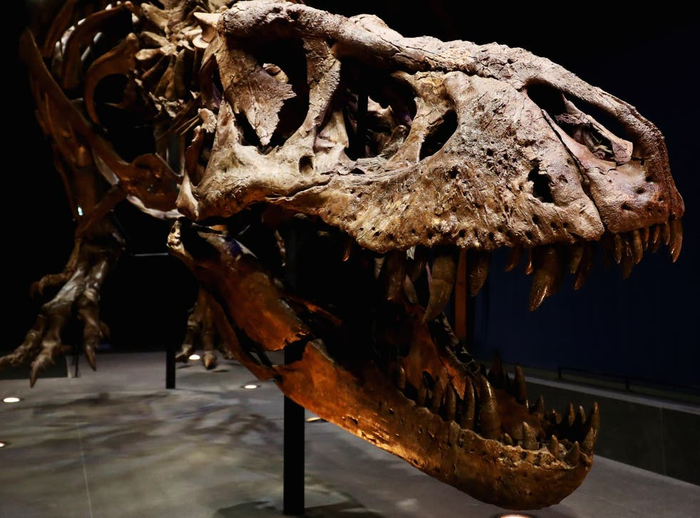 The skeleton of a Tyrannosaurus rex unearthed in Montana in 2013 and on display at the Natural History Museum of Leiden in the Netherlands