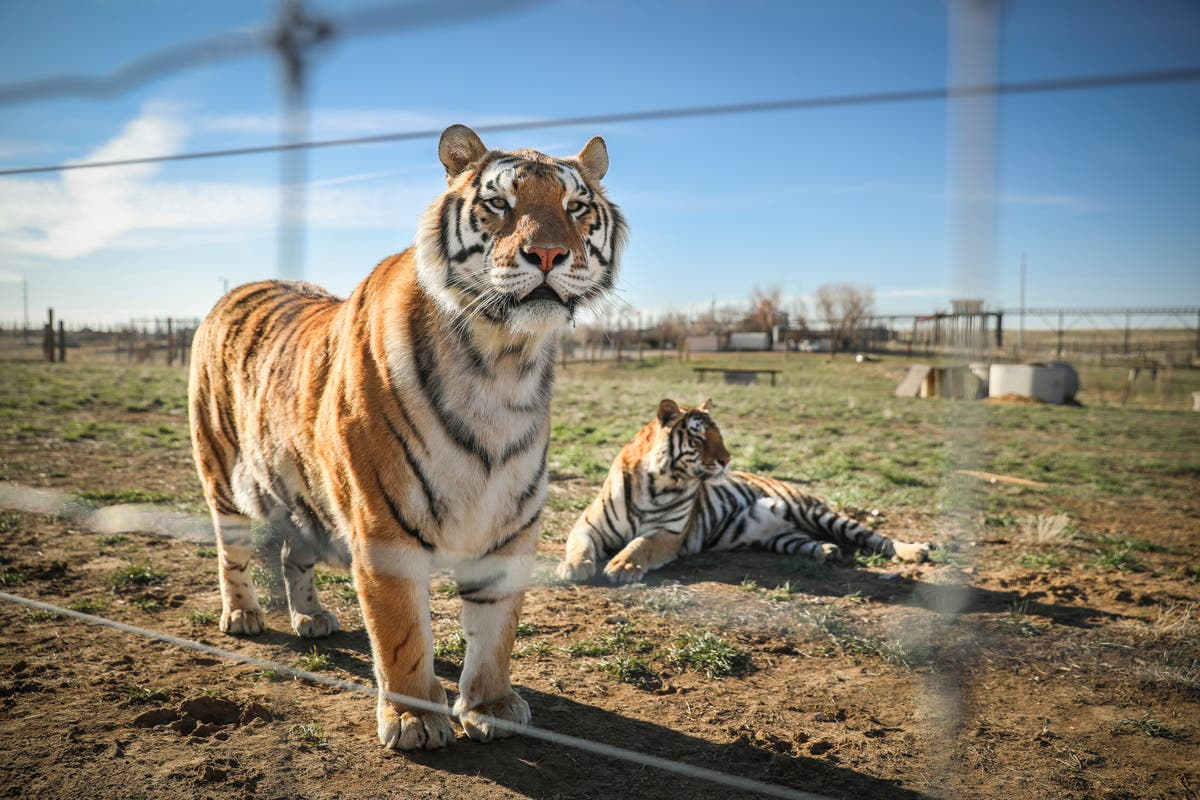 US has more captive tigers than the world has wild ones. A new bill aims to stop that - independent