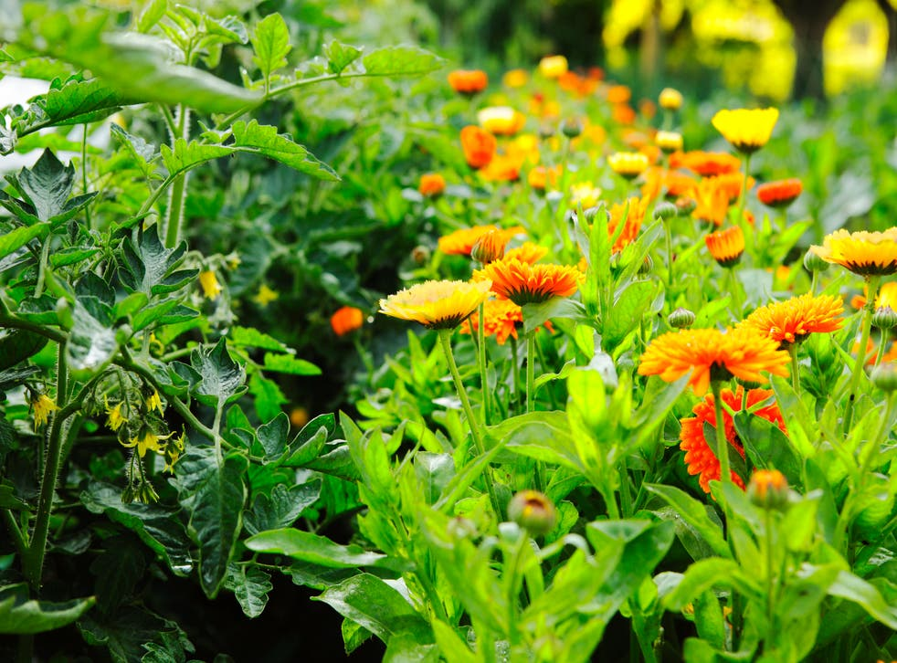 <p>Companion planting involves growing specific plants next to each other</p>