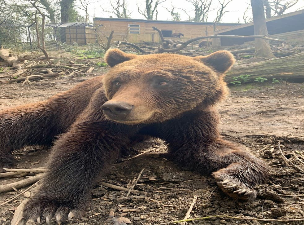 Neo the brown bear
