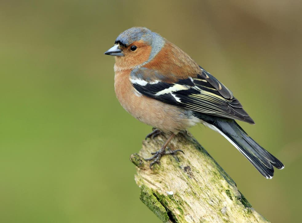 <p>Enthusiasts trap chaffinches and train them to sing in contests</p>