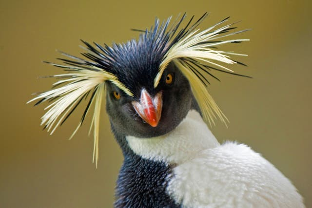 A rockhopper penguin